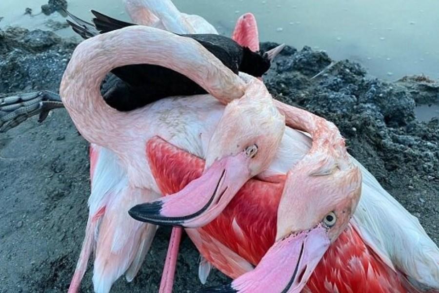 علت مرگ پرندگان میانکاله مشخص شد
