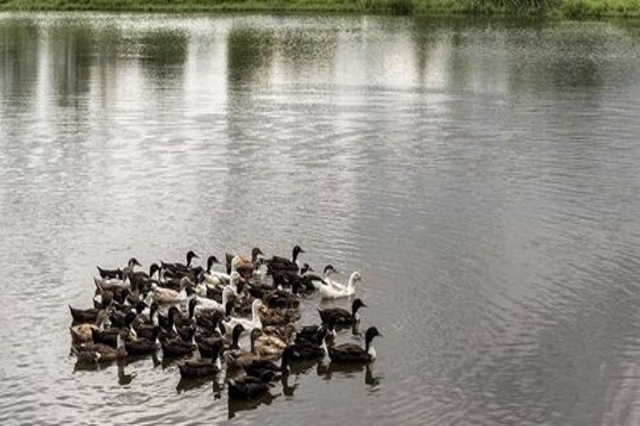 افزایش فرود مرغابیهای مهاجر در شفت