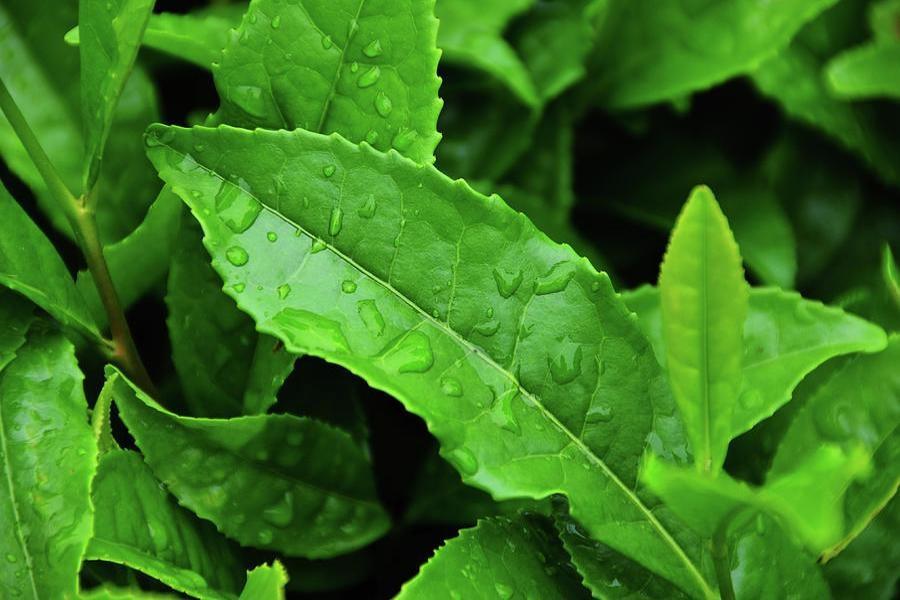 نرخ خرید برگ سبز چای در 1400