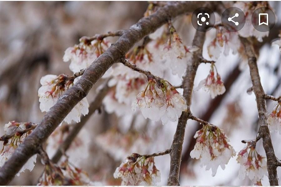 سرمازدگی به 4 هزار و ۷۷۰ هکتار از باغات میوه ساوه خسارت وارد کرد