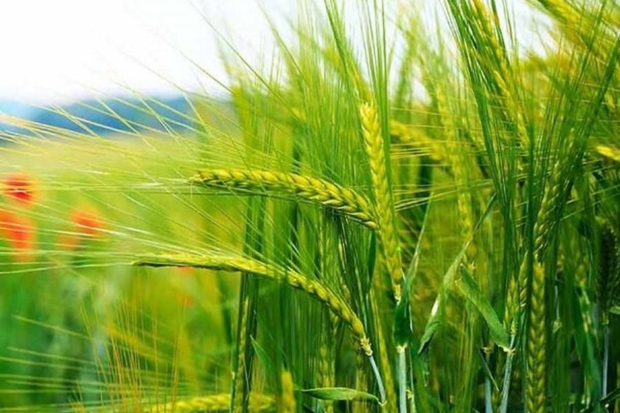 اختصاص بیش از 390 هکتار از مزارع آذربایجان غربی به کشت خوشههای طلایی گندم