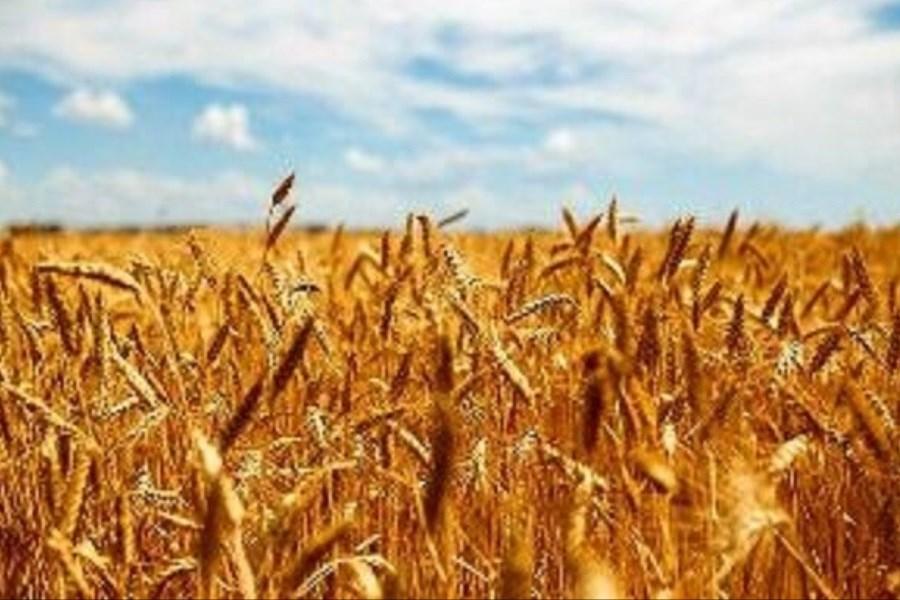 پیش بینی برداشت ۶۵۰ هزار تن گندم از مزارع آذربایجانغربی