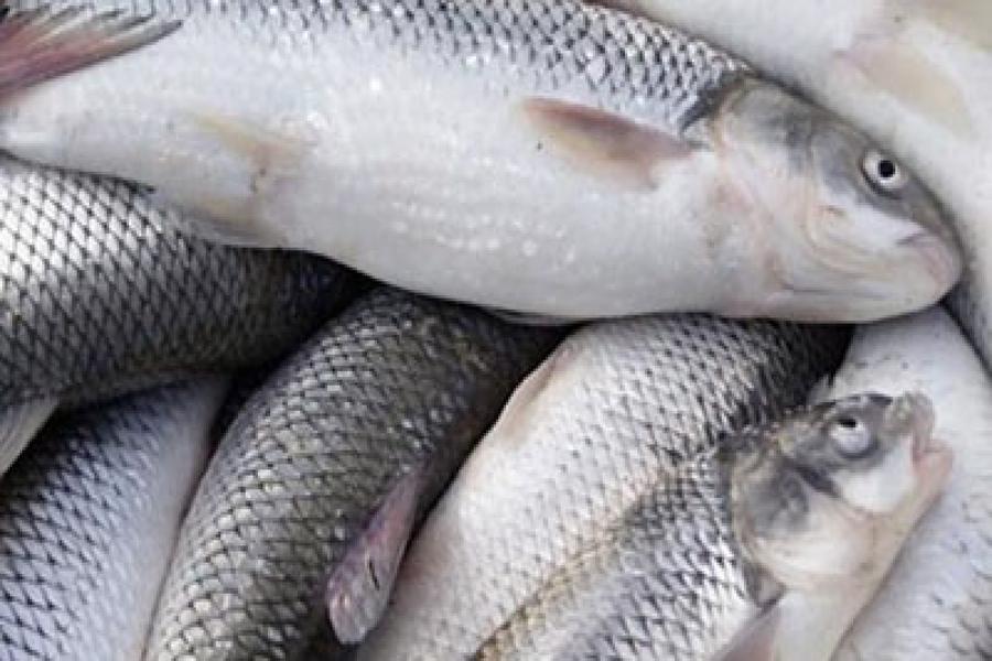 تصویر تکثیر ۱۱ گونه  ماهی استخوانی و خاویاری