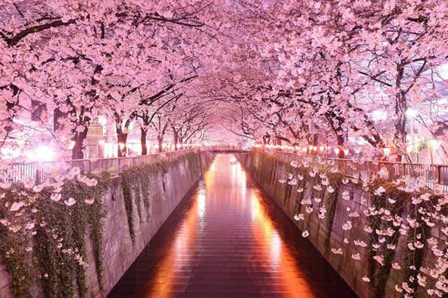 تصویر بهارنارنج ایرانی و ساکورای ژاپنی؛ تفاوت کجاست؟