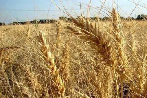 خرید تضمینی ۱۳ هزار تن گندم در ۵ استان