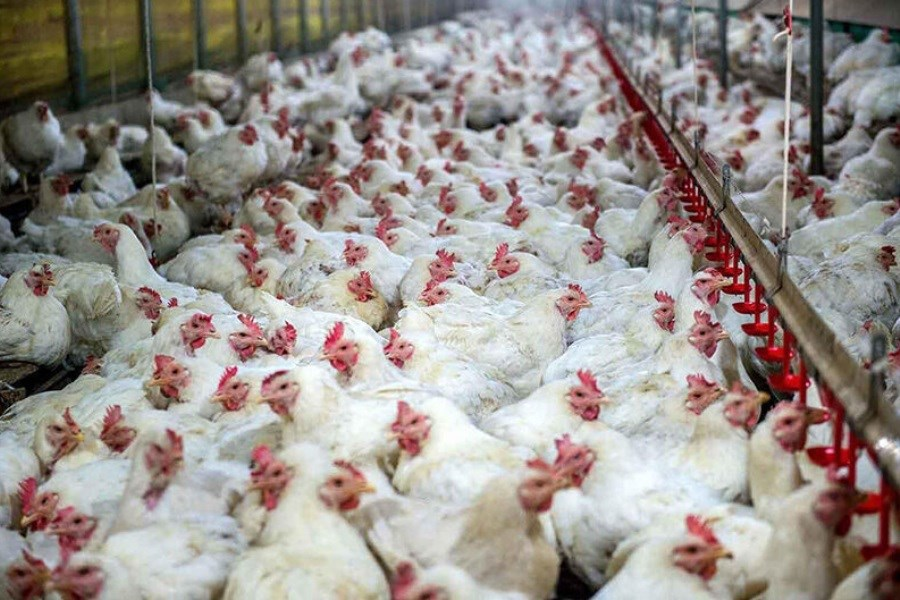 موافقت اولیه با تولید12.3 میلیون قطعه مرغ گوشتی در آذربایجان شرقی