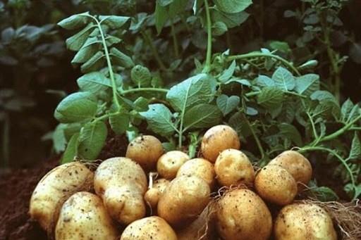 دپوی ۲۵۰ هزار تن سیب زمینی در انبارها