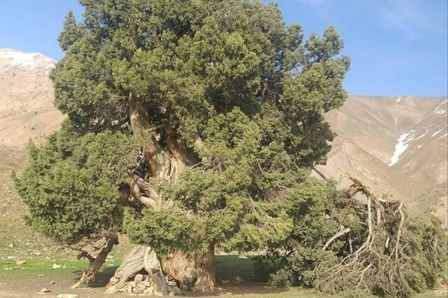 درخت 2700 ساله، نیازمندحراست از سوی سه سازمان