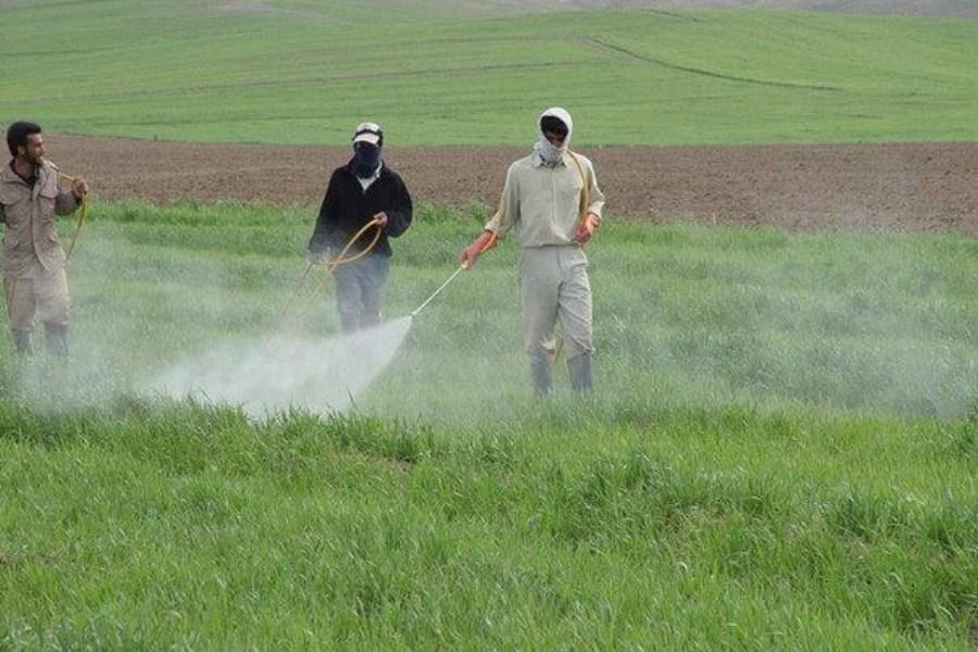 مبارزه با آفت سن مادری در بیش از ۱۱۰ هزار هکتار از مزارع غلات آذربایجانغربی