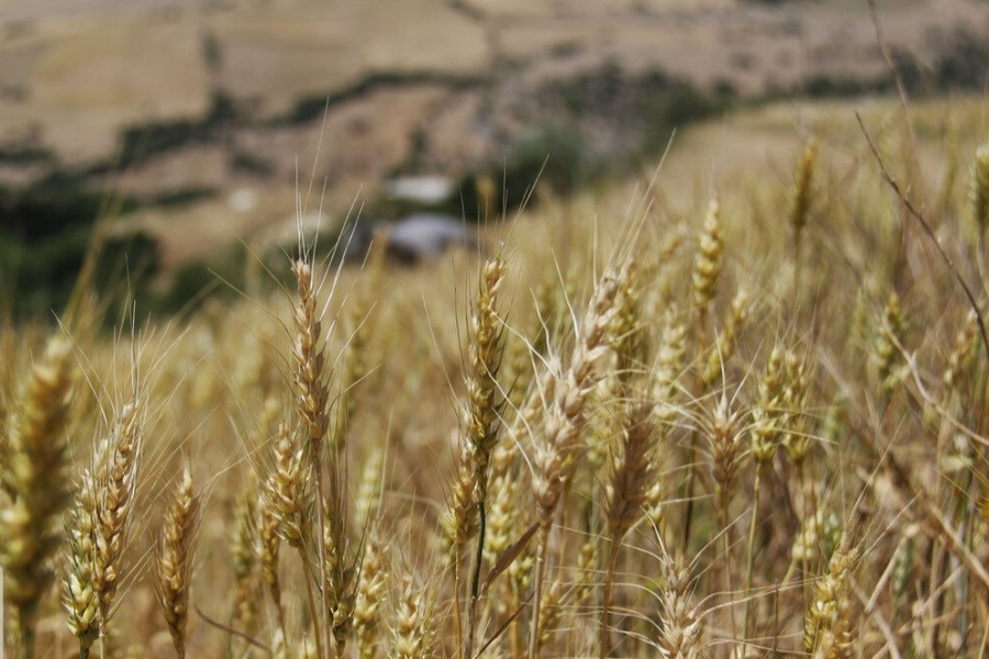 خرید تضمینی ۱۵۰ هزار تن گندم از کشاورزان