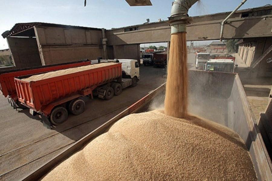 افزایش قیمت خرید گندم دست واسطهها را کوتاه کرد