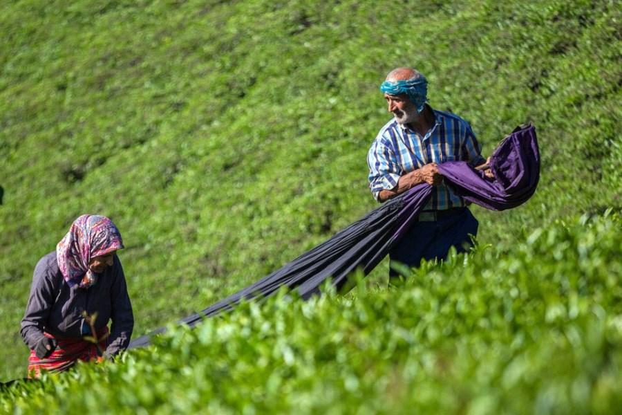 تصویر افزایش 45 درصدی قمیت خرید تضمینی برگ سبز چای