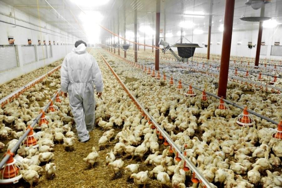 تصویر لزوم کمک بانک کشاورزی به مرغداران