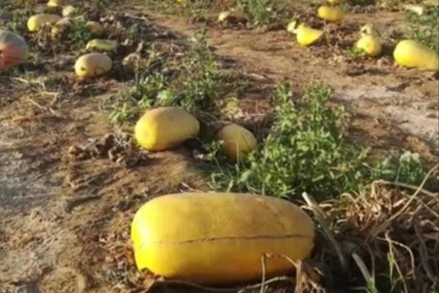 تصویر هرمزگان در پاییز شاهد تولید بذر کدو آجیلی خواهد بود