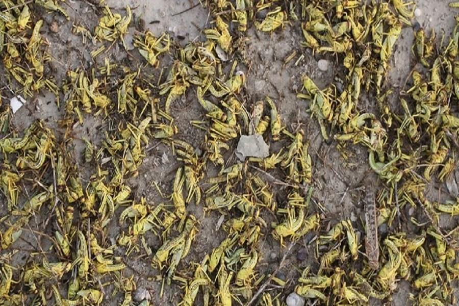 تصویر پنجه در پنجه ملخ در 31 هزار هکتار اراضی طارم