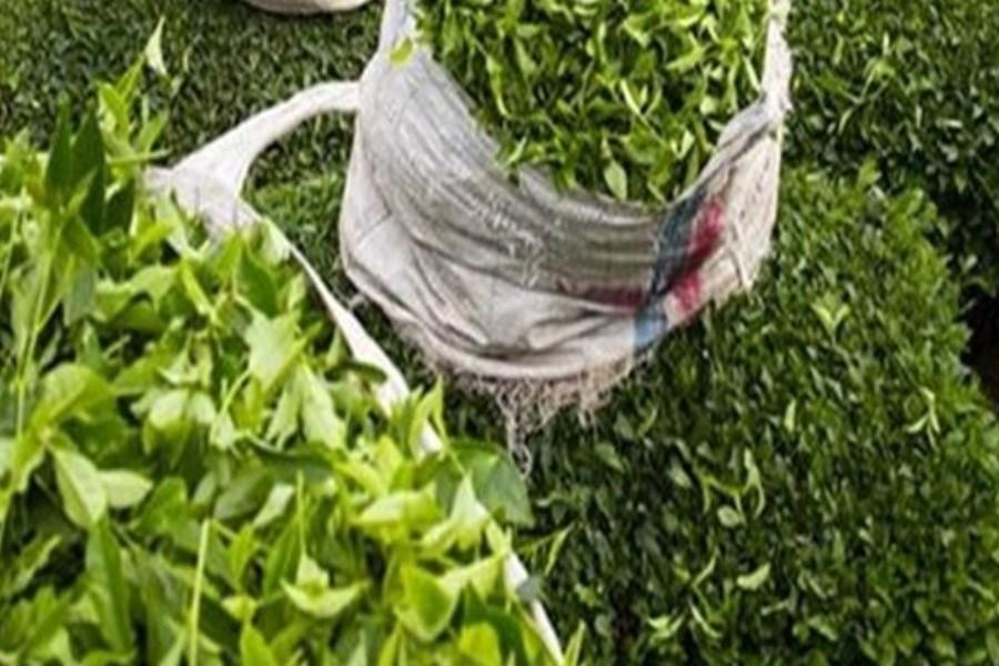 خریداری ۲۳ هزار تن برگ سبز چای در کشور