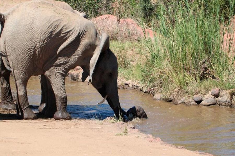 نجات بچه فیل از داخل رودخانه