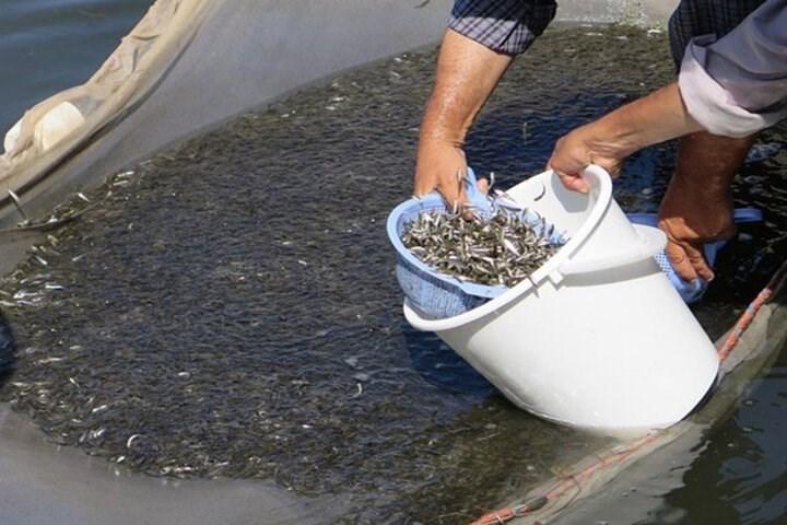 رهاسازی ۱۷۰ میلیون قطعه بچه ماهی خاویاری و استخوانی در رودخانههای گیلان