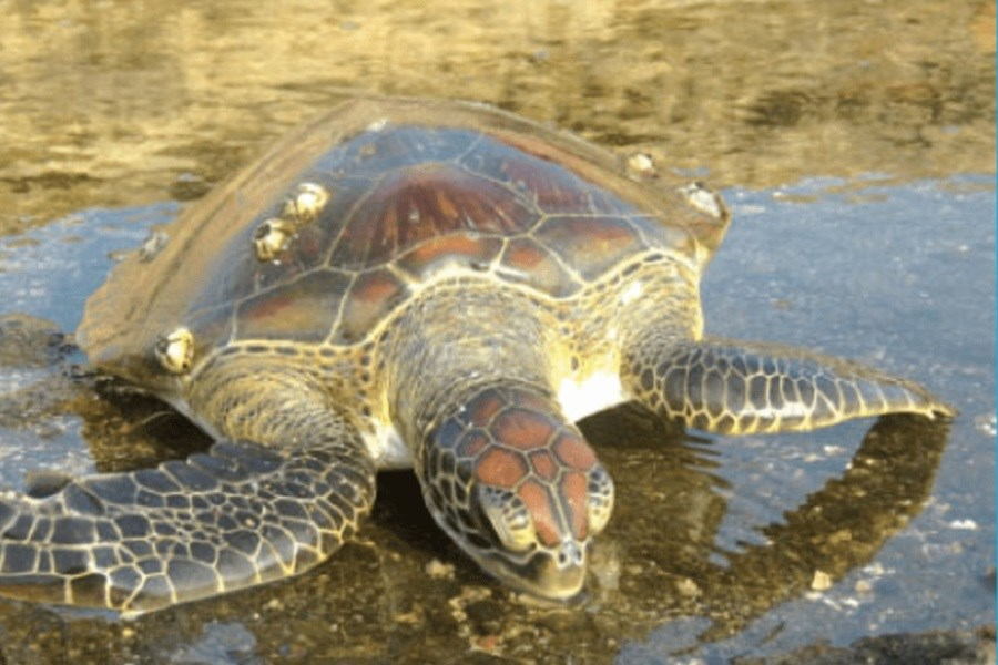 آغاز طرح پایش و آماربرداری لاک پشتهای دریایی در بوشهر
