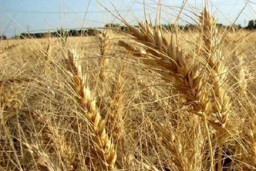 قیمت واقعی گندم چقدر است؟