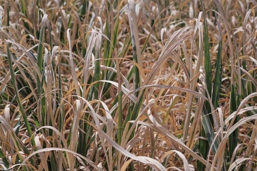کمبود جهانی عرضه شکر در آینده