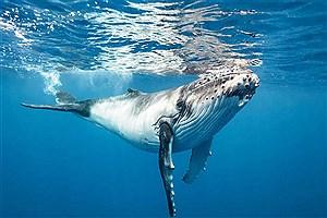تصویر  به گل نشستن یک نهنگ در رودخانه تایمز انگلیس + فیلم