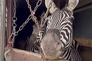 تصویر  شکایت از باغ وحش صفادشت به دنبال حواشی اخیر گورخرها