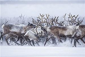 تصویر  مهاجرت جالب گوزنها در قطب شمال +فیلم