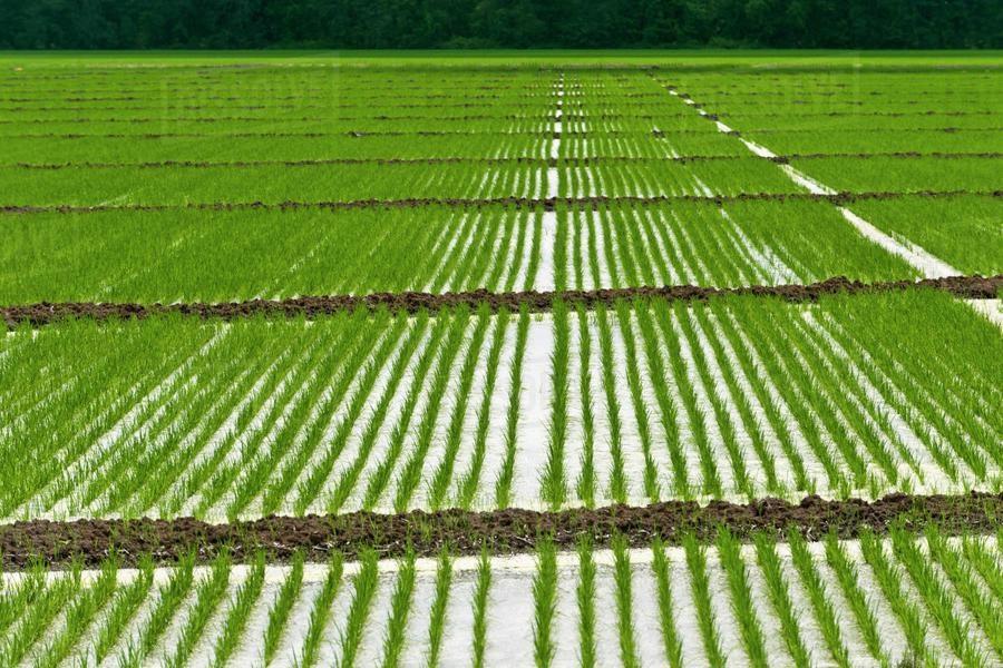 بارندگی های بهاری اردیبهشت ماه و افزایش نشاء در شالیزارهای گیلان