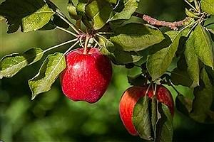 تصویر  قصه پر غصه و ناتمام صادرات سیب آذربایجانغربی/انباشت 50 هزار تن سیب درختی در سردخانهها