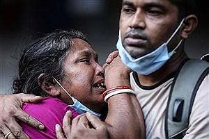 تصویر  کرونا و خرافات در هند/ شایعه درمان با مدفوع گاو