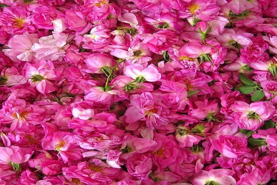 تولید گل محمدی در خراسان شمالی رونق اشتغال و صادرات