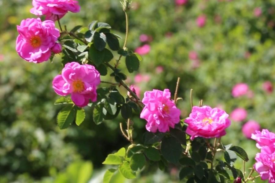 28 تن گل محمدی کشت شد
