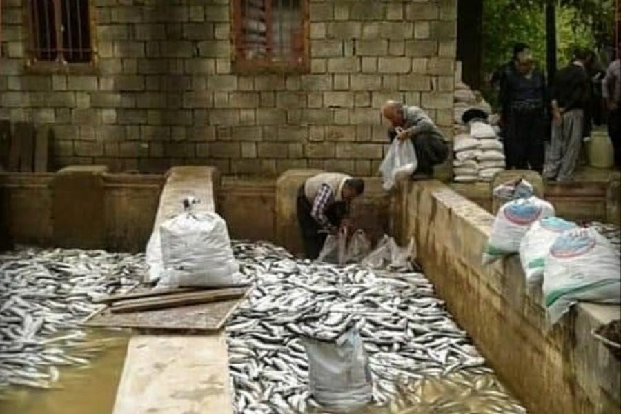 تلفات ۹۰ تا ۹۵ درصدی برخی استخرهای پرورش ماهی با قطع برق