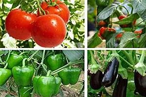 تصویر  حمایت 53 میلیاردی بانک کشاورزی از مجتمع گلخانه ای در استان سمنان
