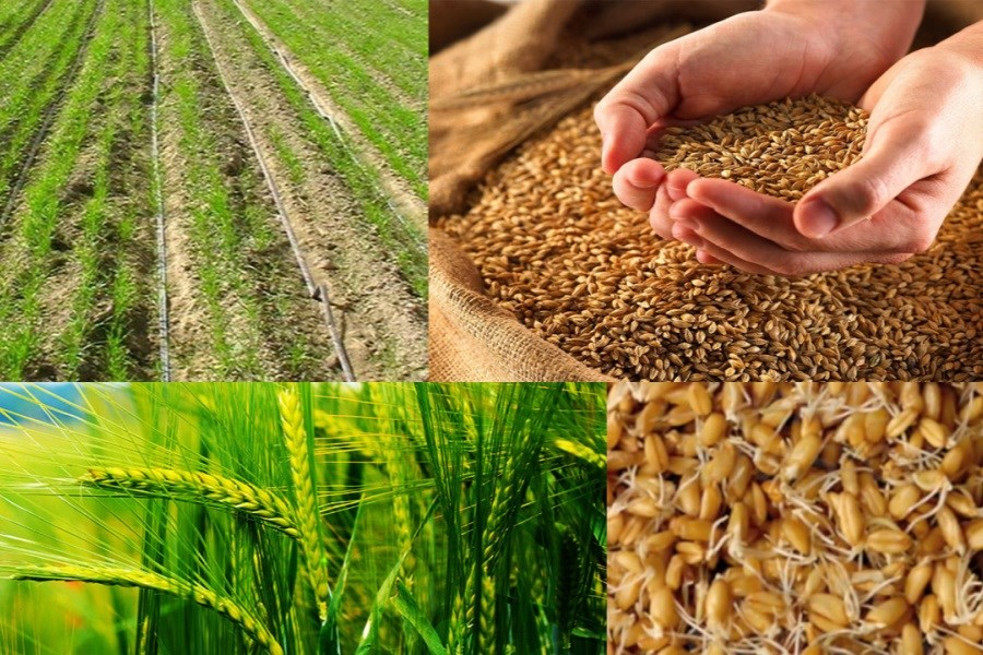 تولید گندم ۵۰ درصد کاهش یافت