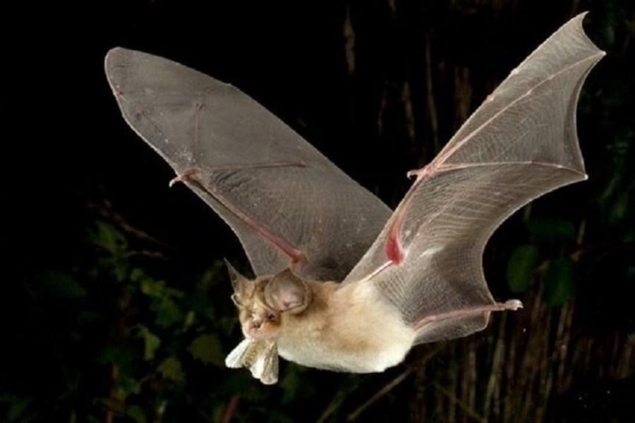 خفاشهای ناقلِ بیماری، در کمین انسان