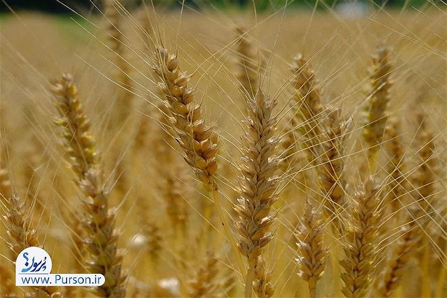 برداشت 50 درصد از محصول گندم سیستان و بلوچستان