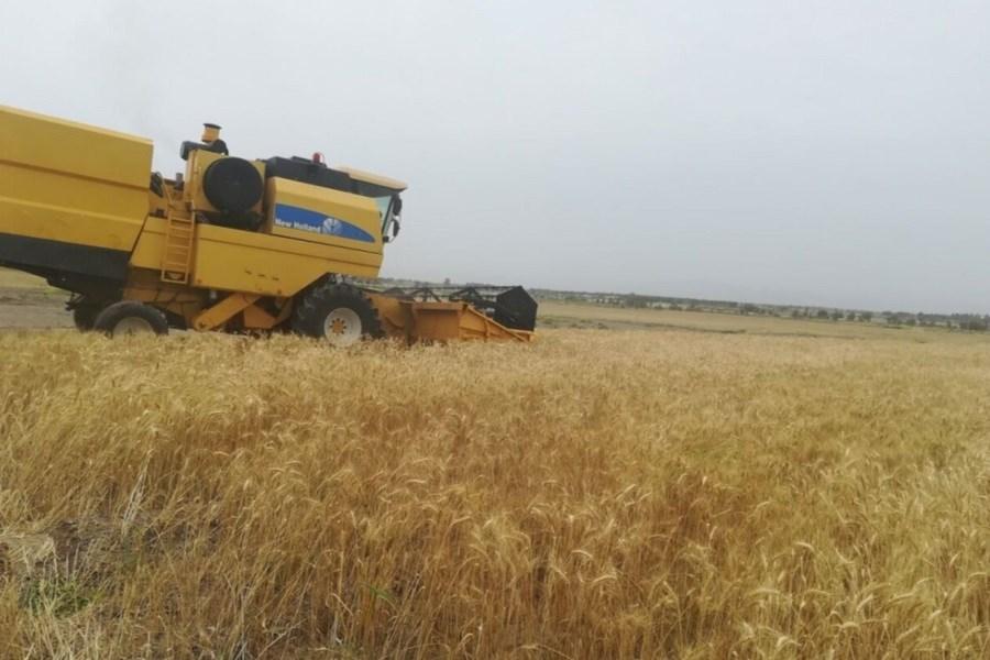 خریداری هزار و600 تن گندم در خراسان جنوبی