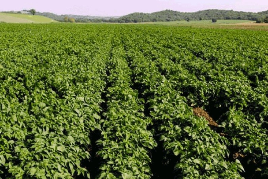 با حکم قضایی دادستان کرمانشاه 7 هکتار مزرعه سیب زمینی آلوده تخریب شد