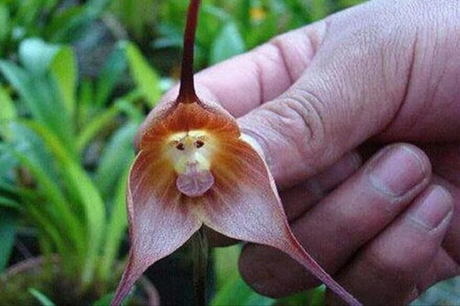 گلی عجیب با عطر نارنج شبیه میمون