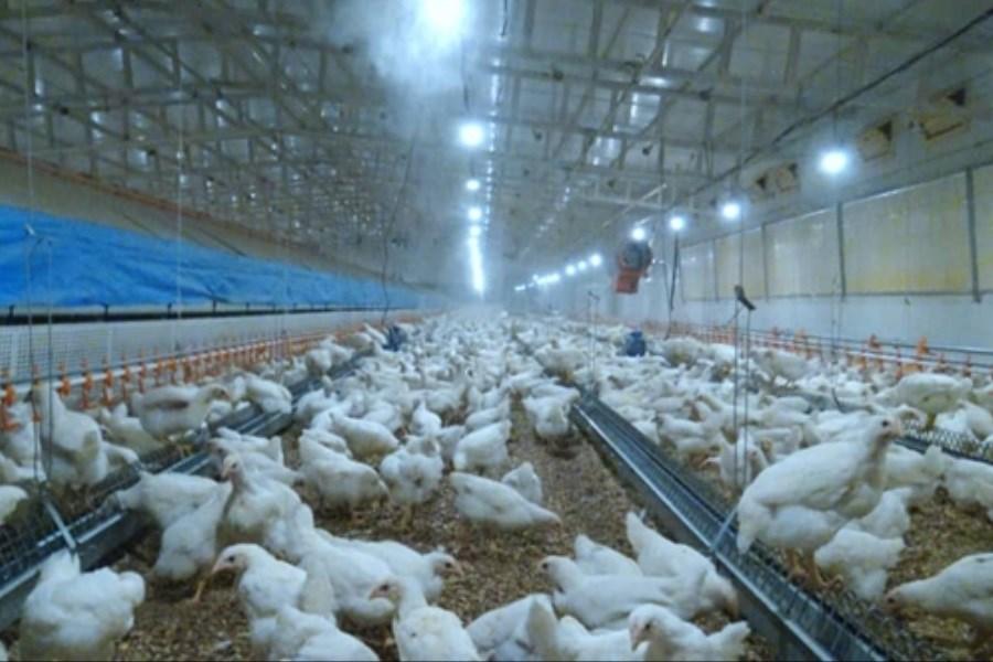 حمایت بانک کشاورزی از راه اندازی نخستین واحد تولید تخم مرغ نطفه دار
