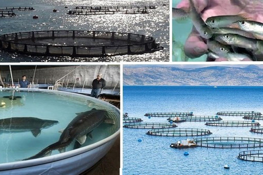 فرآیند تکمیل زنجیره تولید ماهی آغاز شد
