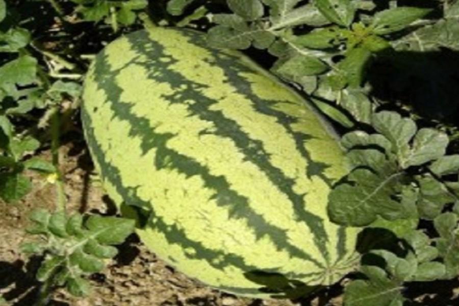 بهترین شیوه برای نگهداری دراز مدت هندوانه