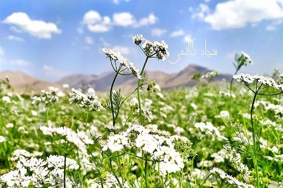 گزارش تصویری از مزارع گشنیز در شهرستان دلفان
