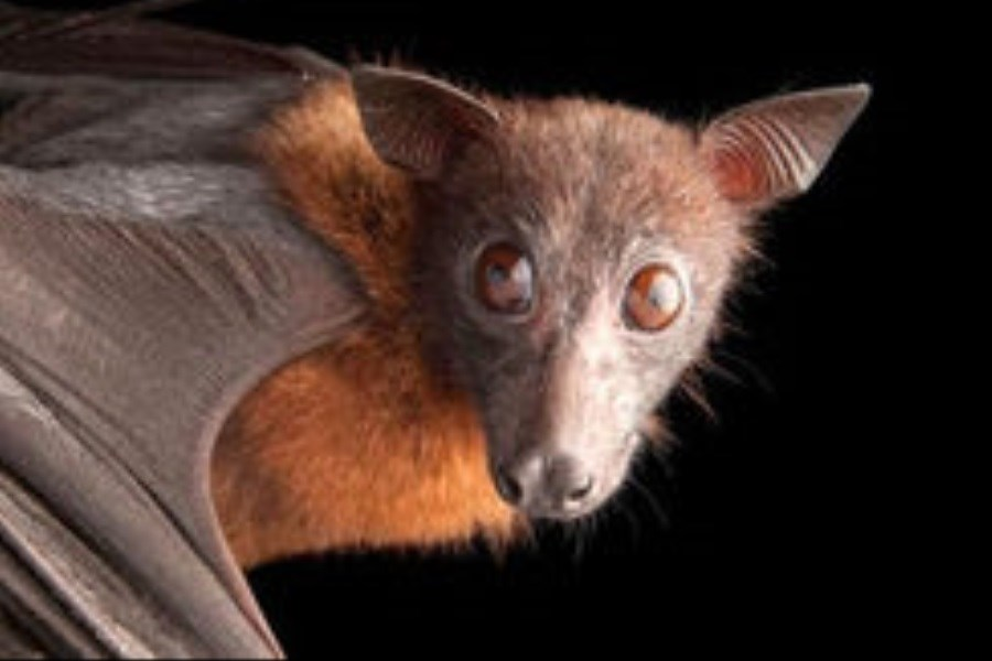 موز خوردن حیرت انگیز بچه خفاش