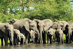 تصویر  حمله کروکودیل به گله فیل ها