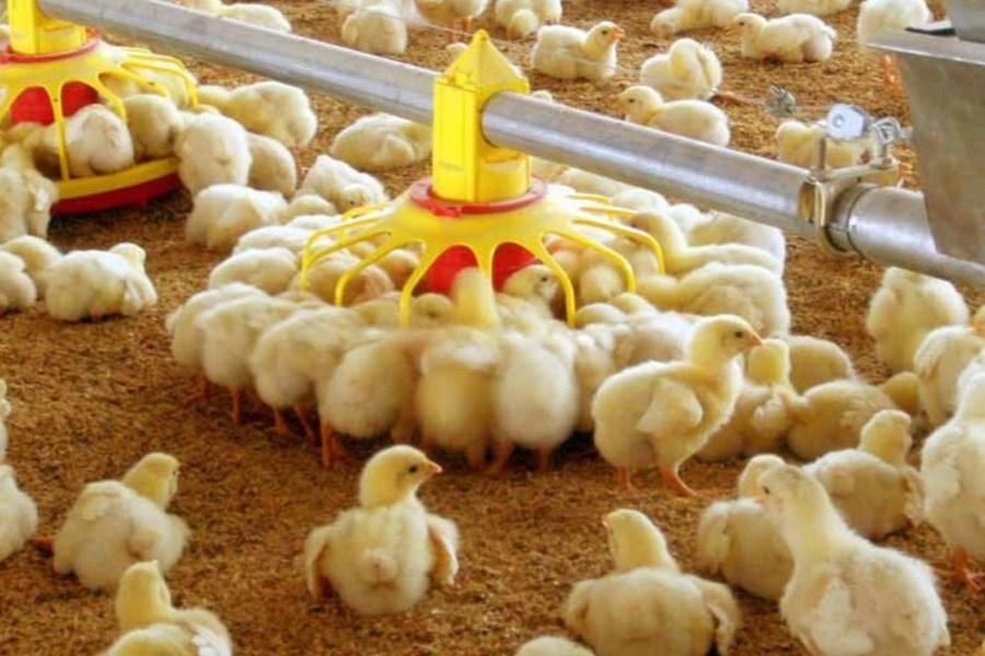 تولید 11 هزار تن گوشت مرغ برآورد میشود/ جوجهریزی 40 درصد رشد یافت