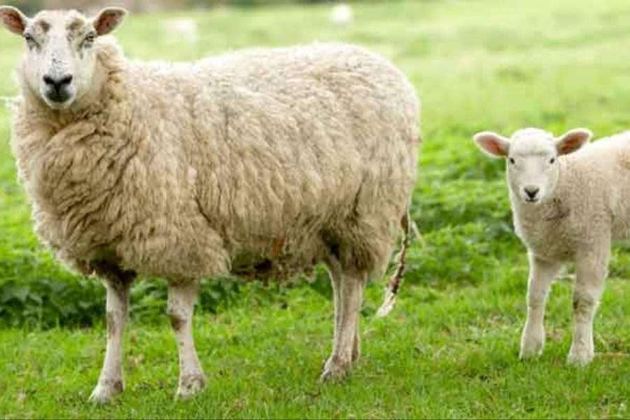 کشف بقایای گوسفند سالم 1600 ساله در ایران