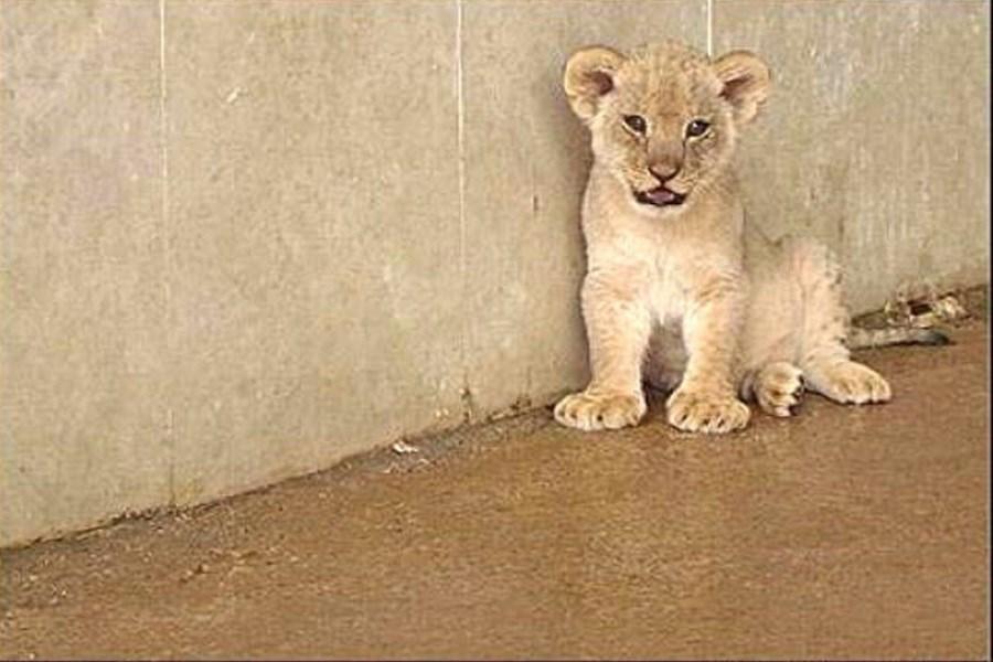 توله شیرهای باغ وحش تبریز نارس به دنیا آمده بودند